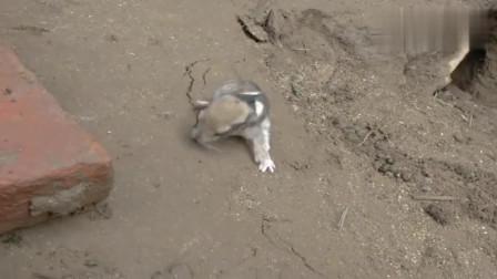 出生后的第一次走路的小兔子,是不是感觉很可爱?