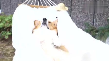 一只小短腿柯基犬在吊床上美美地睡着,这应该还做着什么美梦呢吗