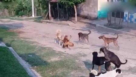 农村中华田园犬打架,可不可以单挑啊,每次都是群殴,这样很不公平的