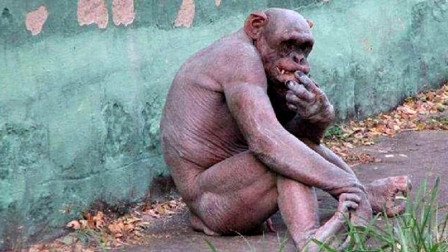两只无毛大猩猩走红动物园,女游客表示很尴尬,不忍直视 !