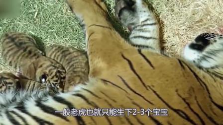 虎妈妈难产失去自己的孩子,饲养员送进去几只猪仔,这下热闹了!