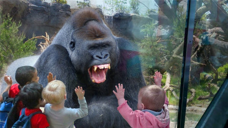 大猩猩被小孩惹怒,一拳直接锤碎了钢化玻璃,镜头记录下这一幕