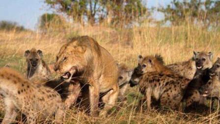两只母狮正在享受美食,不料被鬣狗发现,可怜的狮子又要饿肚子了
