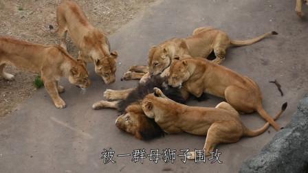 公狮子因太花心,遭母狮子成群围攻,出来混总是要还的!