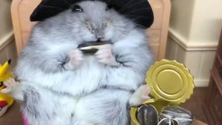 吃货仓鼠,看到眼前的一箱瓜子,瞬间变了模样
