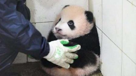 为了方便扫地,将大熊猫抱到角落里,熊猫心疼的抱住圆滚滚的自己
