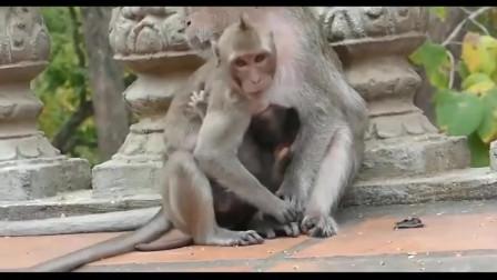 二货猴子抱着小猴子翻跟斗,小猴子头都快转晕了