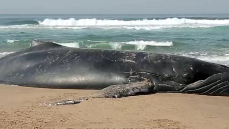 鲸鱼被卡在岩石中无法动弹,被男子勇救后,奇迹发生了