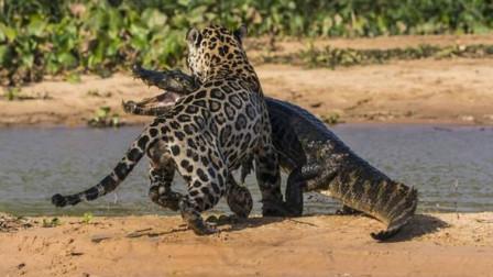 豹子想要偷袭鳄鱼,反被鳄鱼死死咬住尾巴,镜头记录全过程