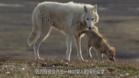狼为什么不吃掉人类婴儿,反而会养成狼孩?科学家的答案让人动容