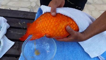 小伙养了一条锦鲤,最近鱼肚子股胀,结果挤出东西来