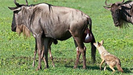 刚出生的小角马惨遭捕食 角马母亲只能眼睁睁看着 镜头记录下残忍一刻
