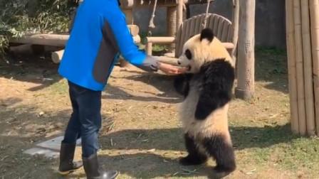 饲养员埋怨熊猫抢食,熊猫怒了:我是国宝,注意你跟我说话的态度