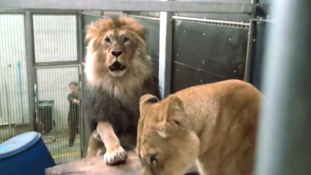 饲养员给狮子相亲,雄狮一见面就扑了上去,开心极了!
