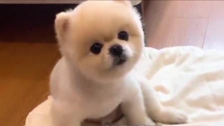 小奶狗不满意自己的发型在家里撒娇,奶凶的样子,好可爱啊!