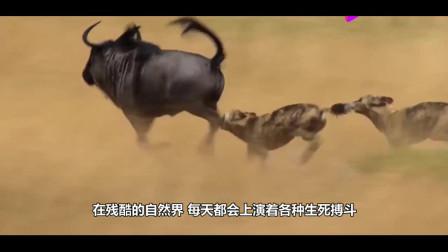 狮子叼走小水牛,水牛爸着急飞奔而来,下一秒狮子悲剧了