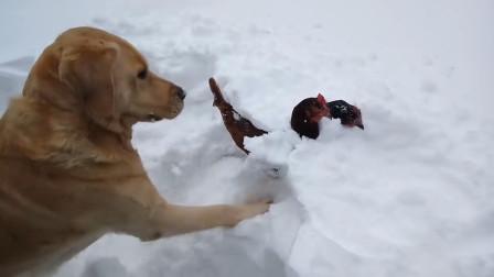 两只鸡被大雪压得动弹不得,金毛的做法,太暖了!