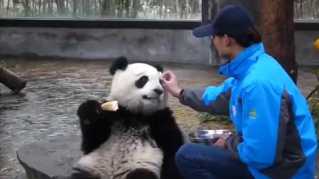 大熊猫正坐着吃东西,饲养员一个动作,游客都笑了