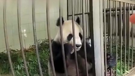 借给俄罗斯的大熊猫到期归还,俄罗斯人:能拿北极熊换只熊猫吗