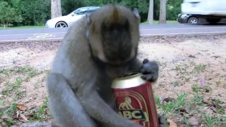 猴子向游客讨酒喝,男子爽快的给了三罐,下一秒忍住不要笑!