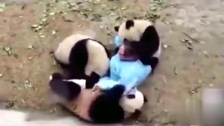 萌宠:或许每只熊猫的背后,都有个想打它的饲养员,哈哈