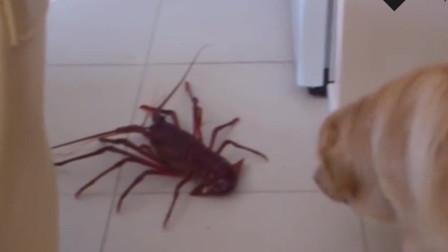 金毛天天拆家,主人带回一只龙虾,狗狗感觉大事不妙