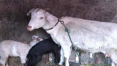 家中母羊意外产子,小羊羔出生后,主人瞬间傻眼:出轨了!