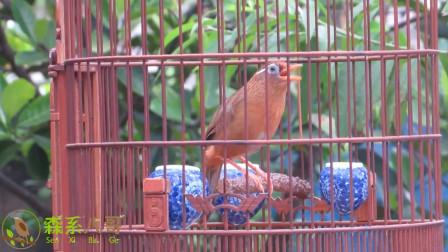 养了一年多的画眉鸟,听听它的叫声,看看它的表现如何?
