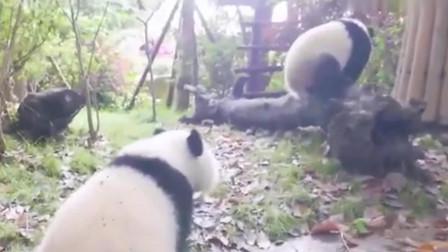 熊猫:国宝熊猫跑到了办公室撒野,这个奶妈还阻止不了它,棒棒哒