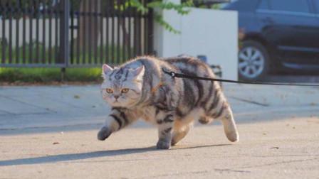 猫咪跟老虎呆久了,走起路时六亲不认,网友:魔鬼的步伐!