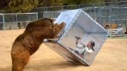 """女子在玻璃箱中准备近距离拍棕熊,结果惨被棕熊一顿""""教训"""""""