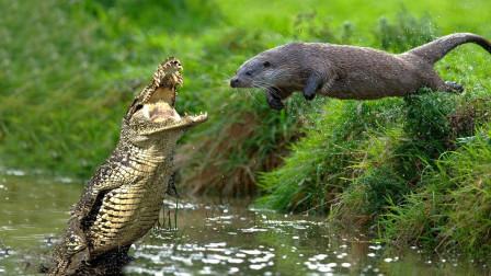 水獭围攻鳄鱼,鳄鱼吓得立马爬上岸,镜头拍下悲惨一幕!