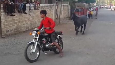 男子公路骑摩托车斗牛,人没追上,公牛反而吃了一路尾气,太气了!