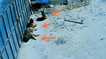 3只狗在晒太阳,主人发现不对劲,回看监控心碎了