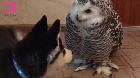 主人怕二哈拆家,找了只猫头鹰给它解闷,憋住,别笑