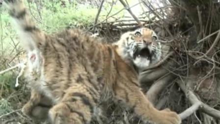 老虎被困,男子徒手解救,一手抓住老虎的尾巴,镜头拍下全过程