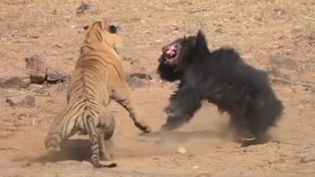 500斤大老虎挑衅两只黑熊,个个都是狠角色,双方干得死伤惨烈