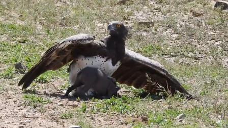 """空中老鹰一爪猎杀野猪,却不想最后走路""""一瘸一拐""""的,真丢脸!"""
