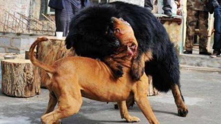 世界上最凶猛的三种猛犬,比藏獒更凶更猛,天生为战斗而生