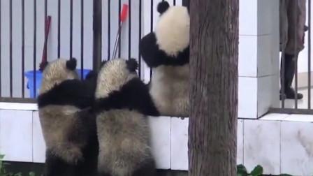 """3只熊猫宝宝""""挖煤""""回来!奶爸看见生气了,提着后脖子去喂饭"""