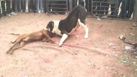 凶残的农村斗狗,100斤的中亚VS30斤的比特,猜猜谁赢了!