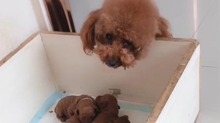 泰迪哈尼看见狗宝宝这么可爱,趁狗妈妈不在赶紧抱抱它们,太逗了