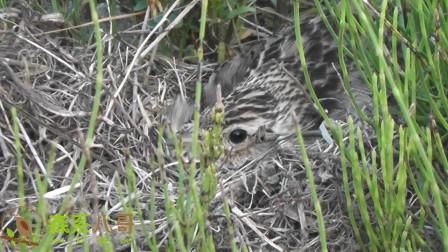 草地上藏着什么?镜头一拉近,发现一只孵蛋的云雀