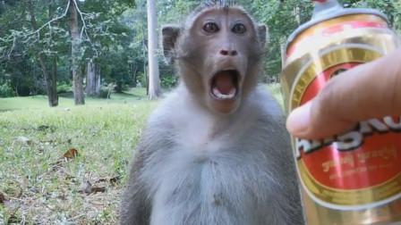 猴子向游客讨要啤酒,见猴子酒量好,游客给了三罐,结果意外发生!
