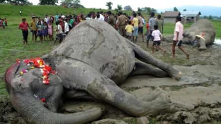 大象死后肚子鼓成球,小伙怀疑里面有个大象宝宝,一刀下去意外发生了