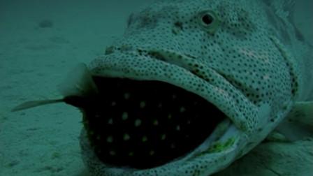 石斑鱼一口吞下河豚,下一秒让人意想不到,河豚:老子剧毒你不知道吗