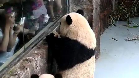 大熊猫向游客炫耀苹果,结果被旁边熊猫一嘴吞了,瞬间委屈了