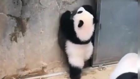 熊猫宝宝:别看我胖胖的,其实我是虚胖,不信你看,给你表演一个!
