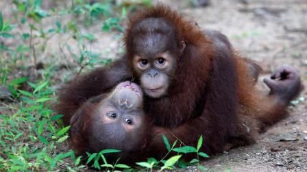 自从给公猩猩配了母猩猩以后,这货就没消停过,工作人员也没办法