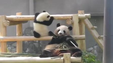 熊猫:超萌大熊猫宝宝推妈妈的脑袋,试图阻止妈妈当吃货,可惜失败了